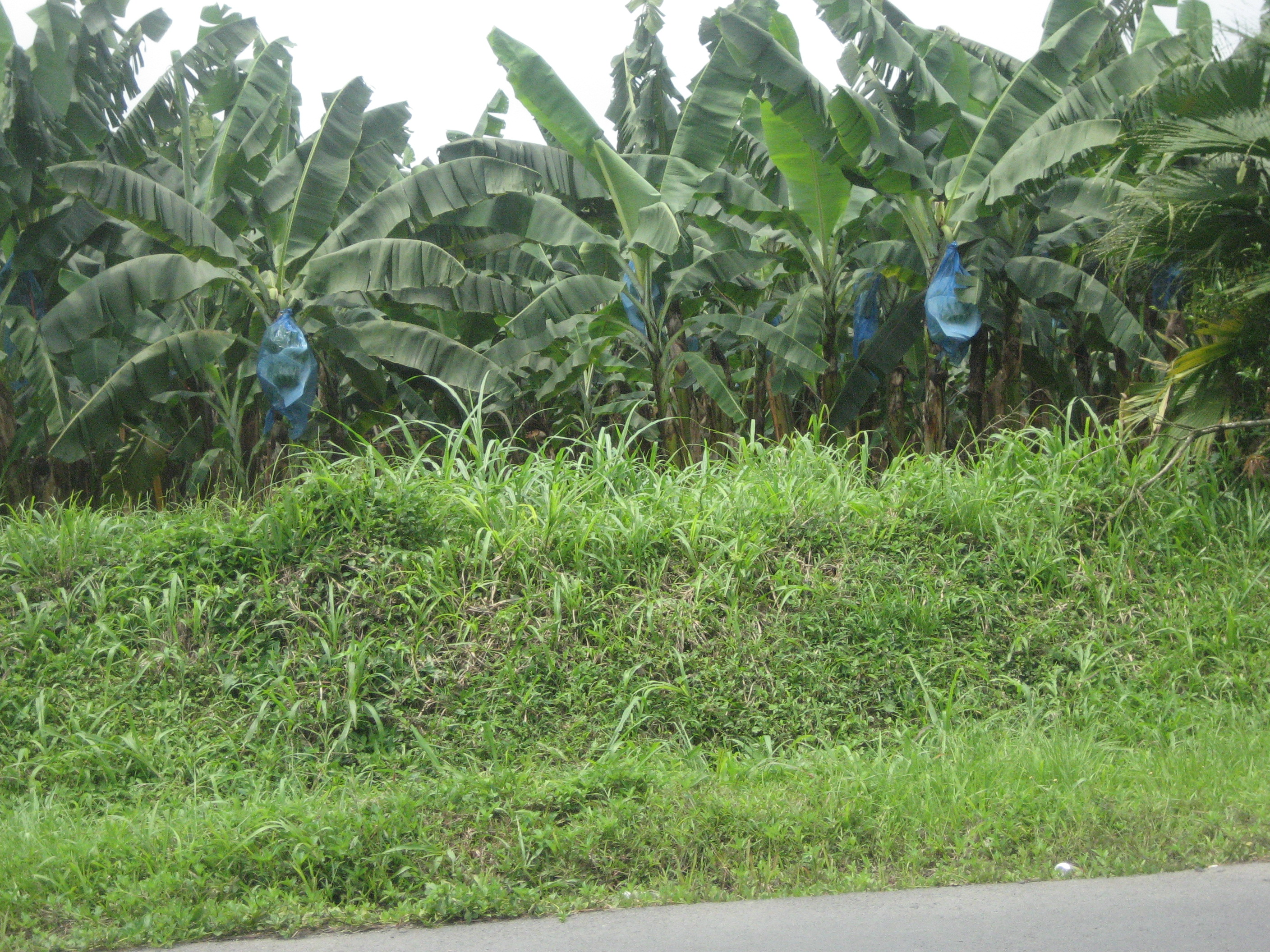 Banana Trees Blooming Blue