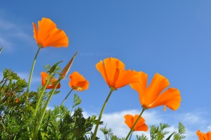 California-Poppies-simplesojourns.com_